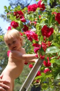 Luktar på rosorna